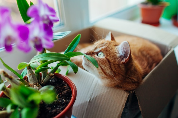 Ginger cat smelling dendrobium orchid flower lying in carton box on window sill at home.