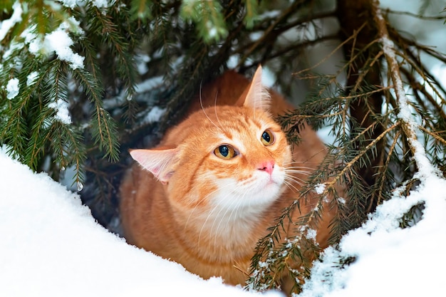 Ginger cat in the snow, walks in the winter in the forest. a sad pet sits on a christmas tree outside.