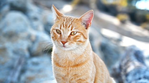 ギリシャのエーゲ海沿岸近くの岩の上にとどまる生姜猫