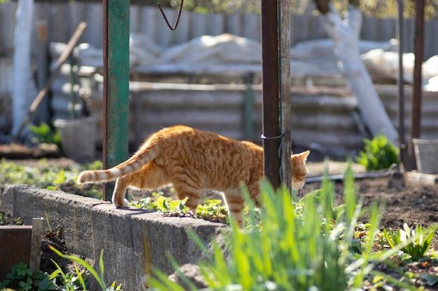 生姜猫は晴れた日に庭を歩く若い緑の植物