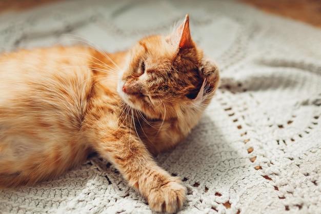自宅の床の敷物の上に横たわる耳を洗う生姜猫。ペットはカーペットの上で自分自身を掃除します。