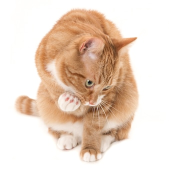 Рыжий кот с белыми пятнами в задумчивой сладкой позе у белой стены