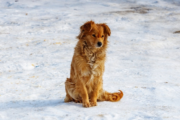 Ginger dog in sunlight sits on snow covered ground