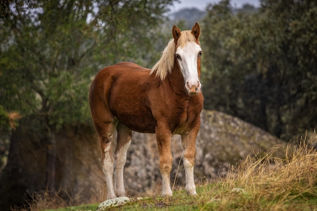 Ginger horse with white face in a field in dehesa de la luz, extremadura