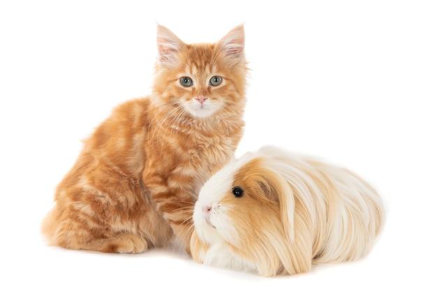 Рыжий котенок вместе с морской свинкой в похожих окрасах. изолированные на белом.