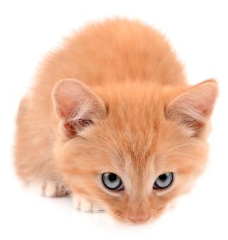 생강 새끼 고양이