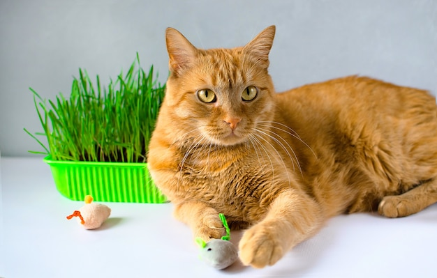 Ginger, red cat eat green grass. green juicy grass for cats, sprouted oats useful for cat.