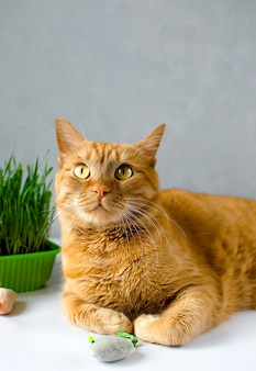 Ginger, red cat eat green grass. green juicy grass for cats, sprouted oats useful for cats. veterinary medicine.