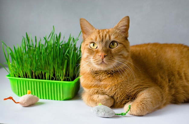 Ginger, red cat eat green grass. green juicy grass for cats, sprouted oats useful for cats.