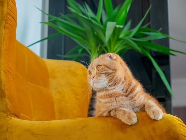 屋内の肘掛け椅子に生姜スコティッシュフォールド猫