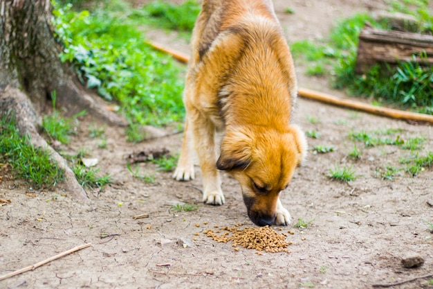 Ginger street dog and dog food, dry dog food, eating scene