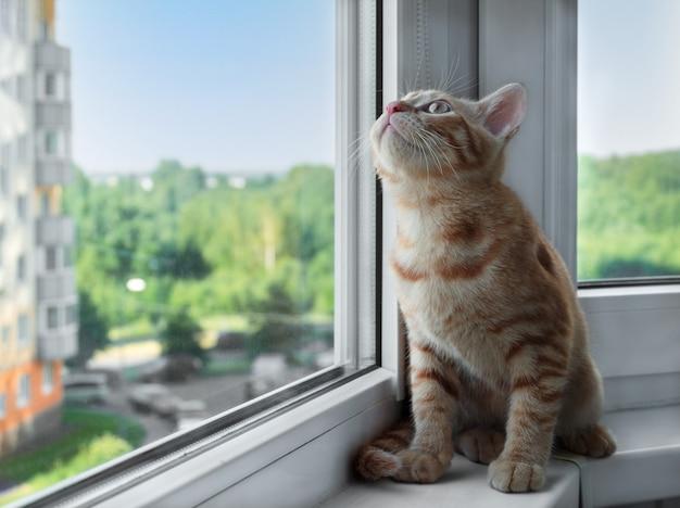 Рыжий полосатый котенок сидит на подоконнике и смотрит вверх