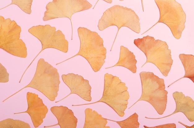 Ginkgo biloba leaves herbarium isolated on white, macro