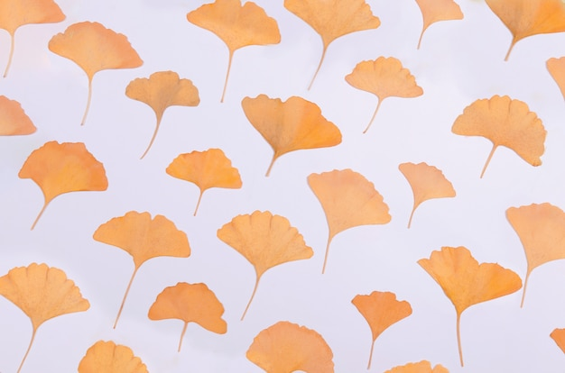 イチョウ葉は白い背景に植物標本を残します