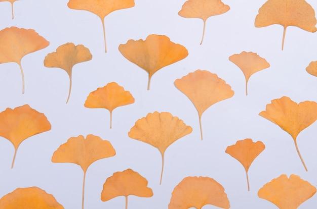 Ginkgo biloba leaves herbarium on white background