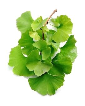 은행 나무 biloba 잎 흰색 절연