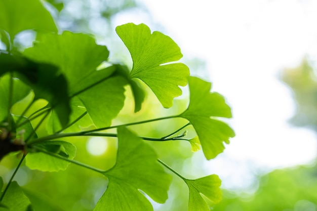 Ginkgo biloba tree leaf green closeup herbal medicine concept