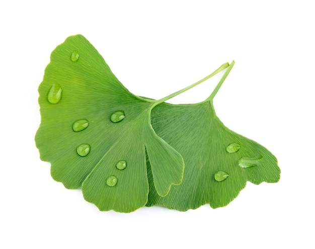 Ginkgo biloba with water drop isolated on white