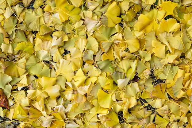 Ginkgo biloba yellow leaves falling on ground