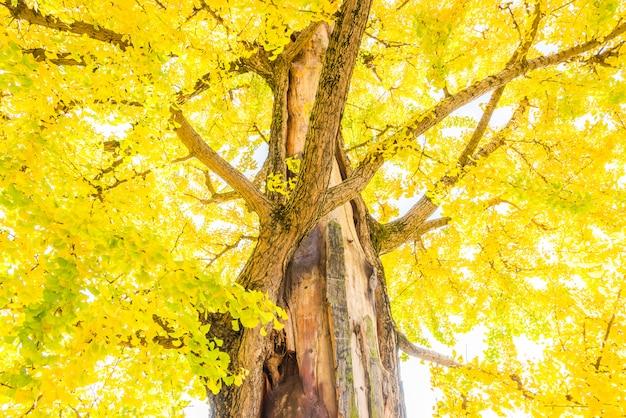 イチョウの木 無料写真