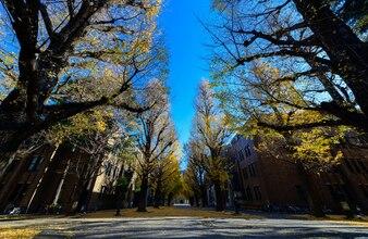 Ginkgo tree on road, autumn season