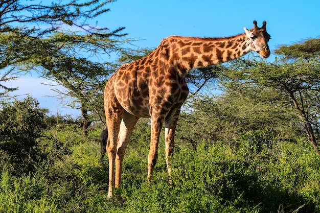 Жираф у куста акации. танзания, африка
