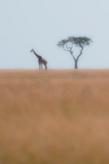 Жираф по дереву в кении