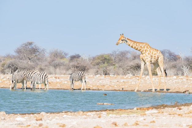 Giraffe drinking from waterhole. wildlife safari in the etosha national park, famous travel destination in namibia