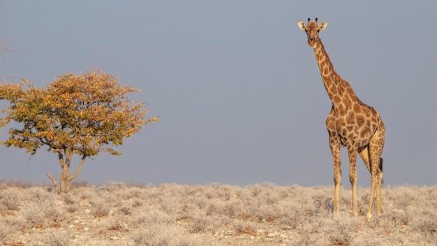 アフリカのナミビアのエトーシャ国立公園で日の出を食べるキリン。