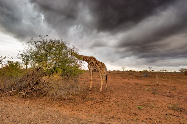 Giraffe eating from acacia tree in the bush, dramatic stormy sky.