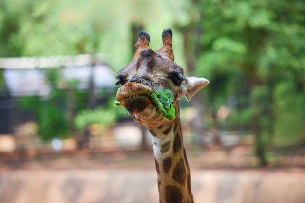 Giraffe eating leaves / close up of a giraffe in front and funny on nature green tree