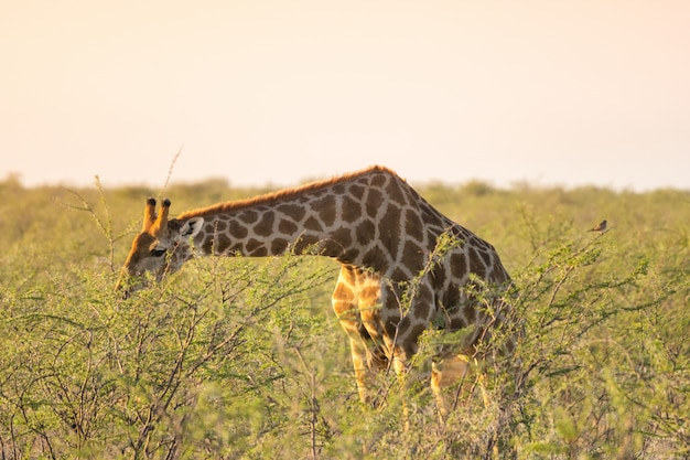 Giraffe eating tiny green acacia leaves in okaukuejo, etosha national park, namibia