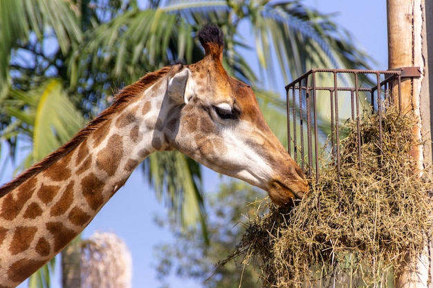 Giraffe feeding on top of a tree in santa catarina.