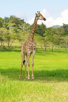 Giraffe from africa in zoo at singha park chiang rai thailand