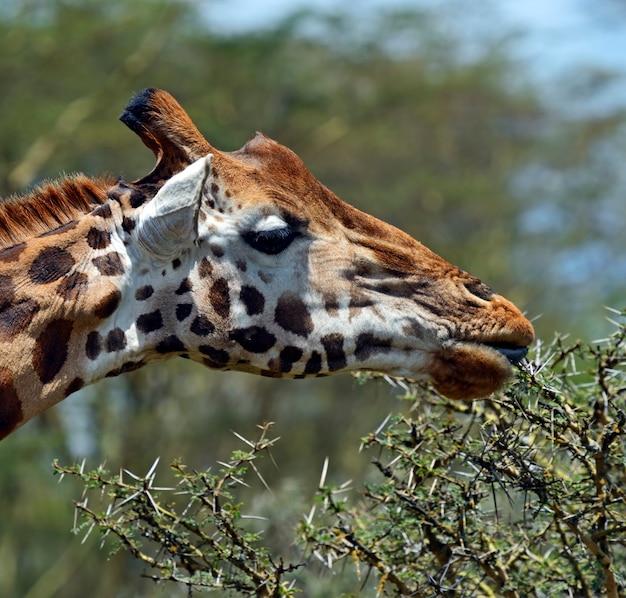 クルーガー国立公園のキリン(giraffacamelopardalis)