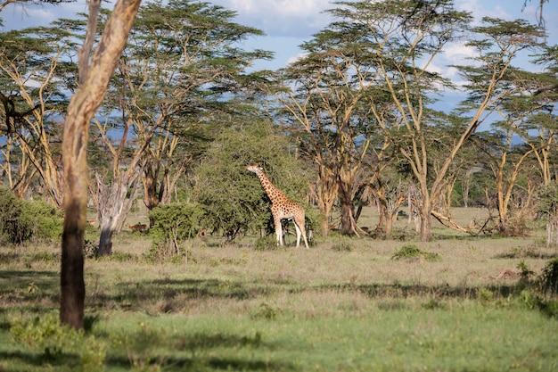Giraffa su una di erba
