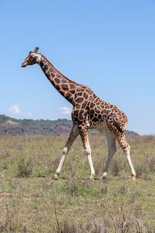 Giraffe on a of grass