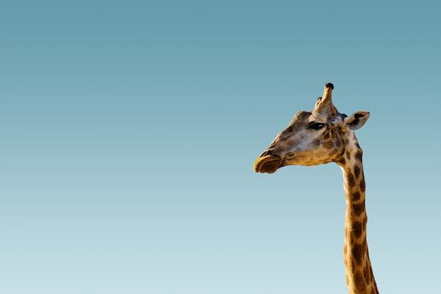 Giraffe head on clear brighten sky