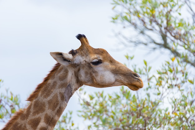 Giraffe head and neck profile