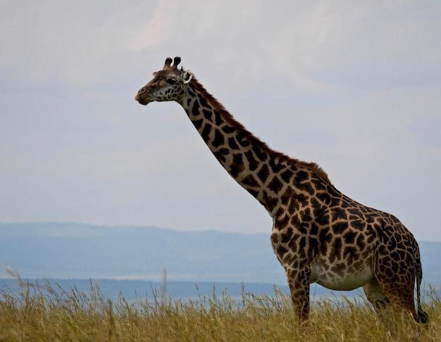 マサイマラ国立公園のキリン-ケニア