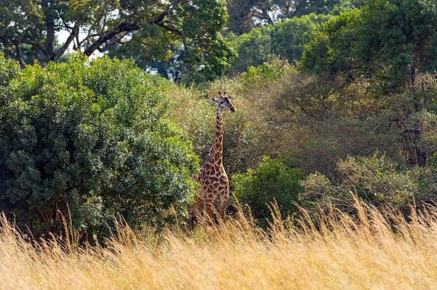 케냐, 아프리카의 국립 공원에있는 기린