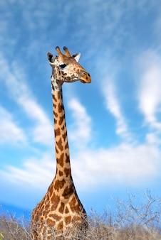 Жираф в национальном парке кении, африка