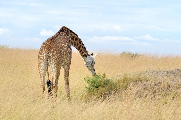 ケニアの国立公園のキリン