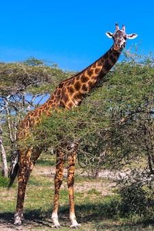 Жираф в саванне серенгети возле акации. танзания, африка