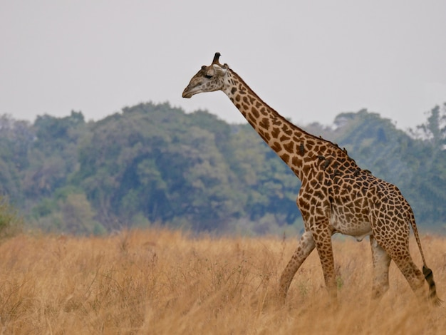 サウスルアングワ国立公園のキリン