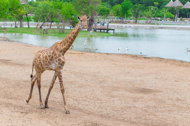 기린은 살아있는 육상 동물 중 가장 키가 큰 아프리카 포유류입니다. 강 옆을 걷고 있습니다.