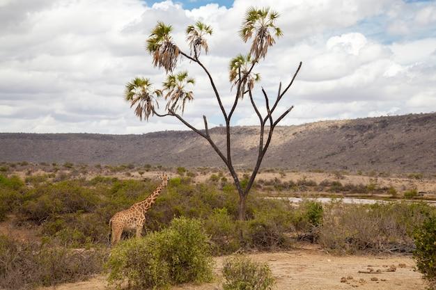 キリンが食べている、サファリのケニア