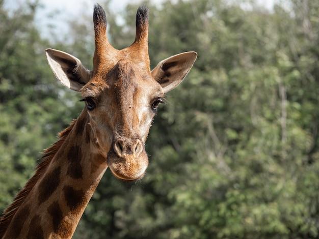 The giraffe is the highest animal
