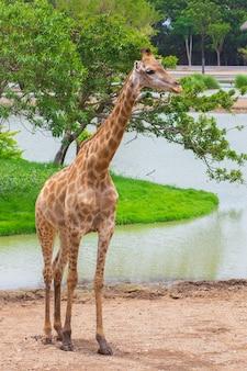 Жираф стоит на земле на фоне зелени деревьев и реки.