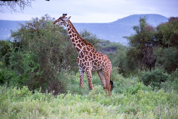 Giraffe is walking in the savannah between the plants